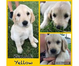 For Sale AKC Golden Retrievers