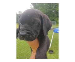 We have 3 black lab puppies left