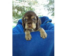 Cocker Spaniel puppies ready to go to