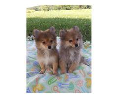 Pomeranian Puppies Purebred