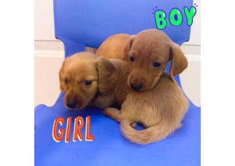 2 pure bred mini dachshund pups for sale