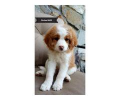 F2B Teddy Bear puppies for adoption