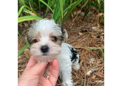 4 Adorable Yorkie Puppies up for Sale