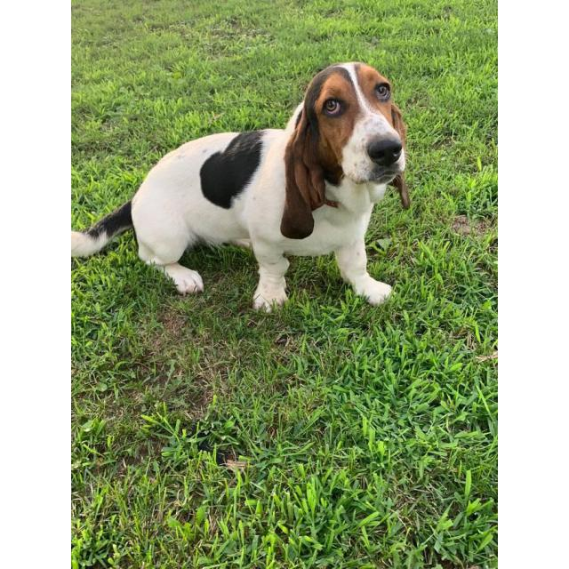 Female Basset Hound Seven Months Old In Eau Claire Wisconsin Puppies For Sale Near Me