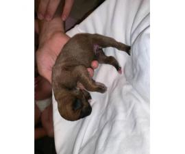 Boxer Puppies - 2M/3F available