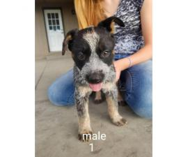 3 males & 2 females blue heeler puppies