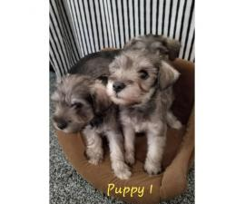 2 Schnauzer Male puppies