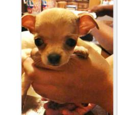 Two female chihuahuas (teacup size)