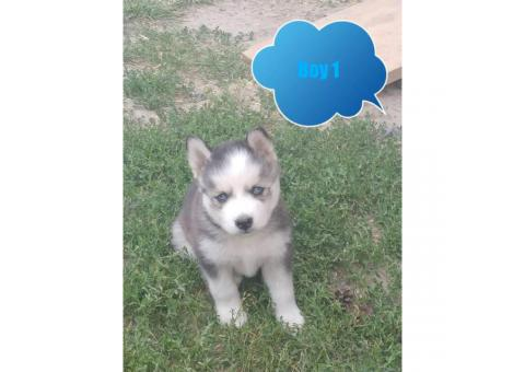 4 Husky Puppies Available