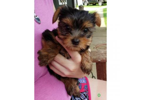 AKC Male Yorkie Puppies for Sale