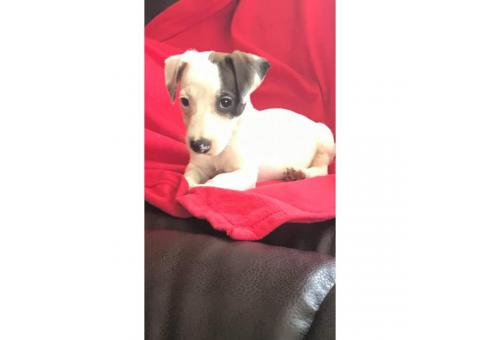 Sweet Purebred Jack Russel terrier puppy