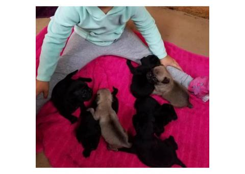 3 CKC Pug Puppies available