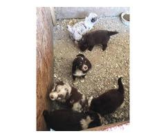 Aussie Puppies Gorgeous & healthy
