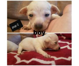 Chihuahua's babies  4 puppies left