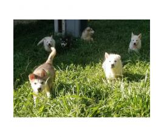 6 Alaskan Malamute Puppies