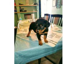 8 week old male Rottweiler puppy