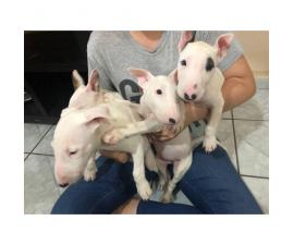 Purebred Bull terrier puppies 8 weeks old