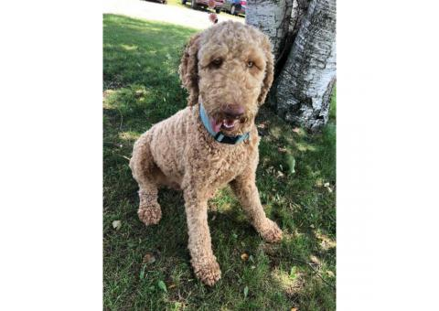 One year old poodle puppy for sale