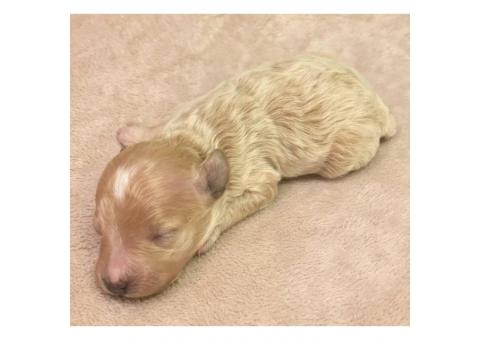 Tan colored female Maltipoo puppy for sale