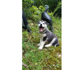CKC Purebred Siberian Husky for Sale