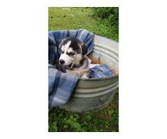CKC Purebred Siberian Husky for Sale