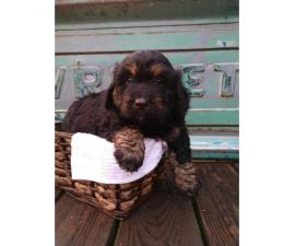 6 absolutely adorable mini Bernedoodle puppies