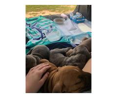 8 weeks old Boxer puppies
