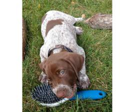 Five German Shorthaires Pointers Left