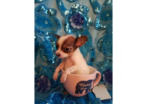 Applehead Chihuahua female puppy