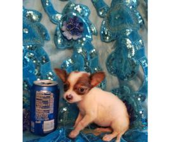 Applehead Chihuahua female puppy