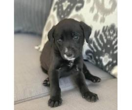 6 Gorgeous Black Lab mix pups for sale