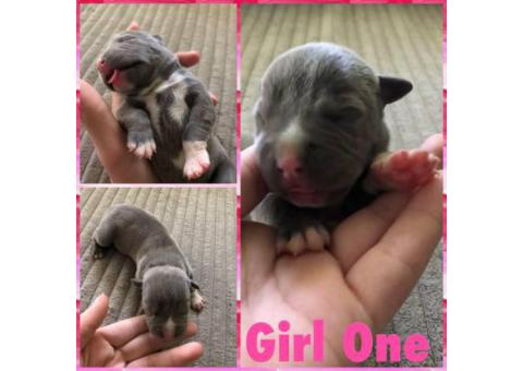12 Pitbull puppies for rehoming