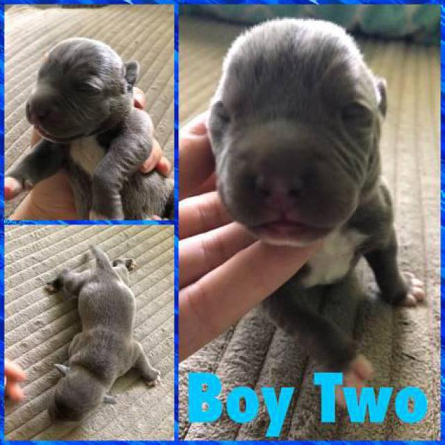 12 Pitbull Puppies For Rehoming In Los Angeles California Puppies For Sale Near Me
