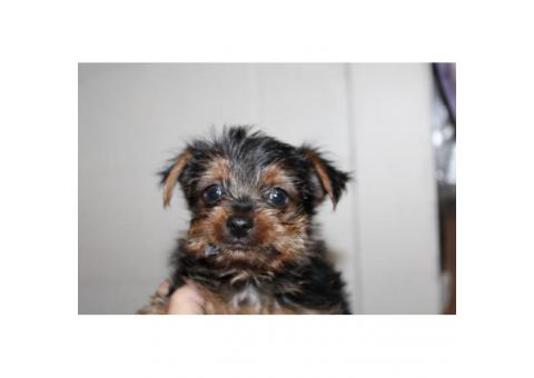 CKC registered Yorkshire Terrier Male