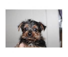 CKC registered Yorkshire Terrier Male
