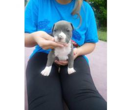 Registered American bully puppies with papers
