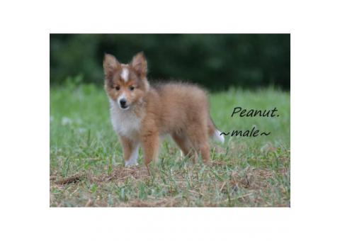 2 Shetland sheepdog puppies for sale