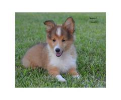 2 Shetland sheepdog puppies for sale