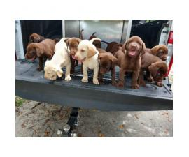 7 weeks old Akc lab puppies for sale