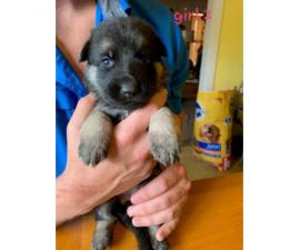 8 German Shepherd Puppies