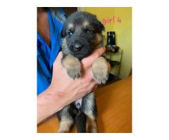 8 German Shepherd Puppies