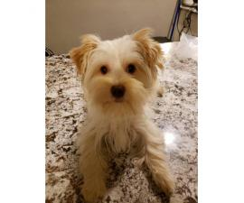 Yorkie female puppy for sale