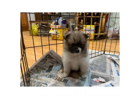 Pomsky for sale by owner - Puppies for Sale Near Me