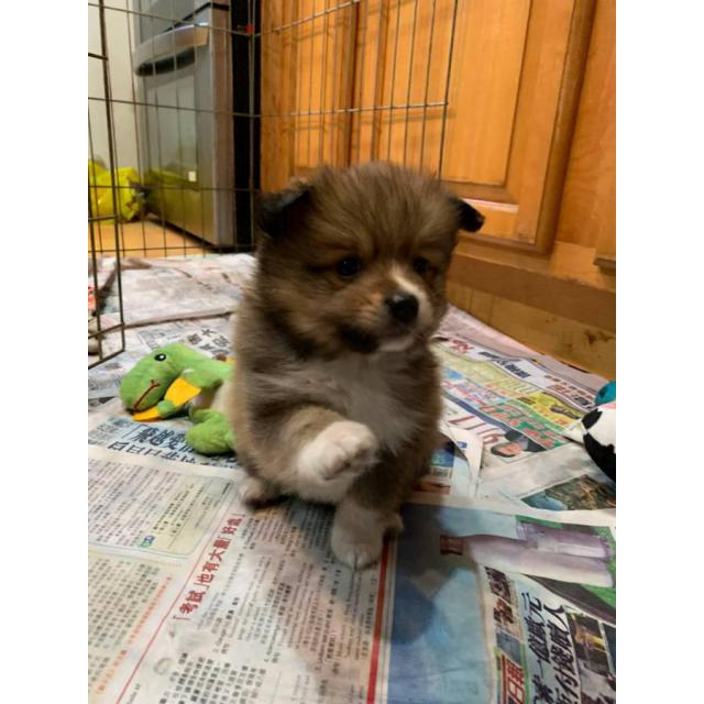 3 adorable Pomsky puppies for sale in New York City , New