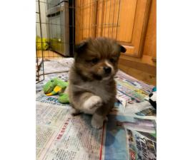 3 adorable Pomsky puppies for sale