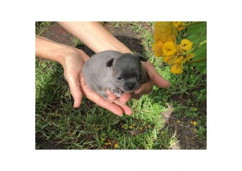 New York - Puppies for Sale Near Me
