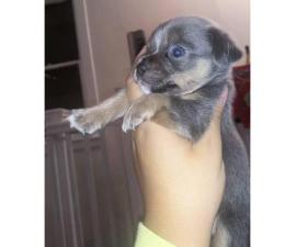 Blue Teacup Chihuahua Puppies for Sale