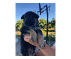 5 German Shepard Pups w/ good temperament