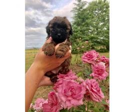 Beautiful Lhasa-Poo puppies 1 male and 1 female still available