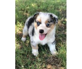 Male Aussie-Corgi Puppies for sale